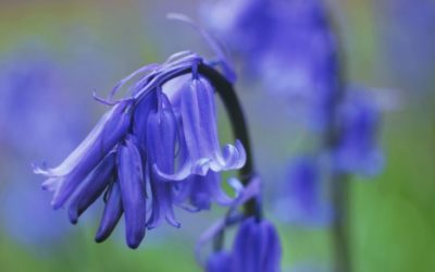 Volunteers needed for Arlington Bluebell Walk!
