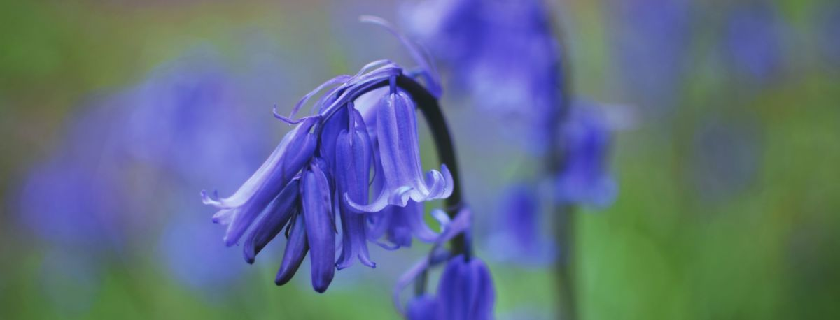 close up photo of a bluebell flower